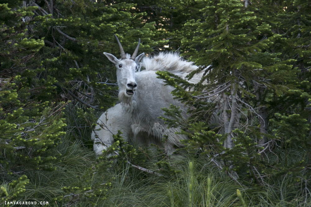 Mountain Goat, Wildlife