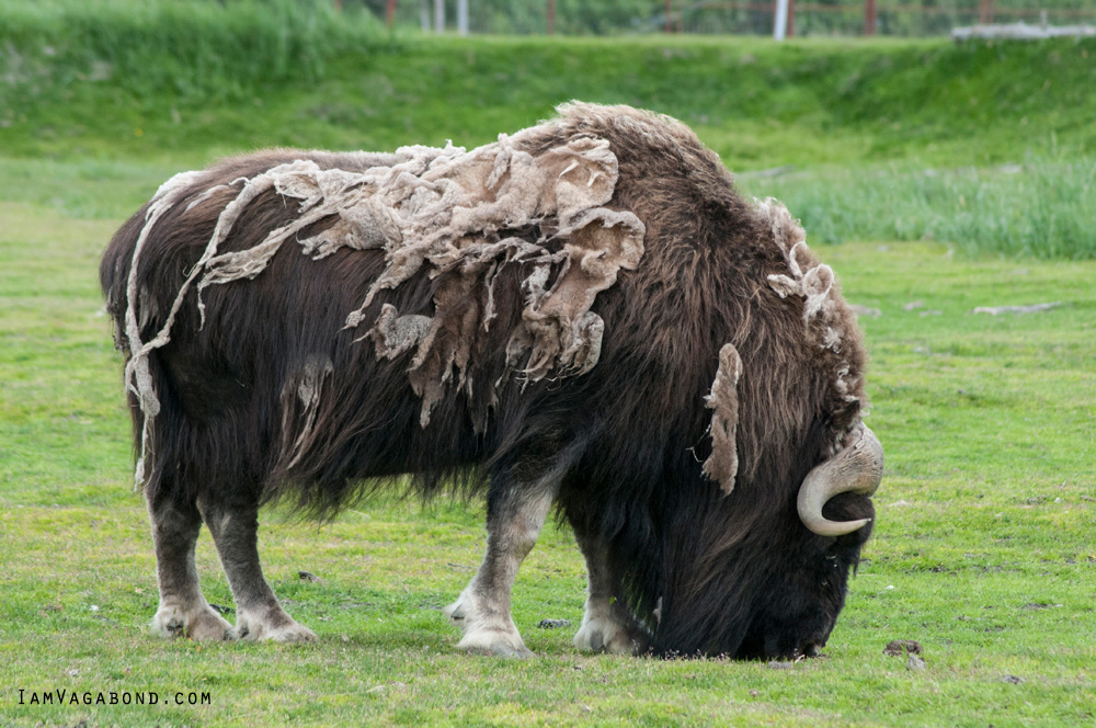 Yak, Wildlife